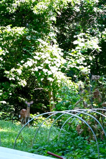 deer_in_garden