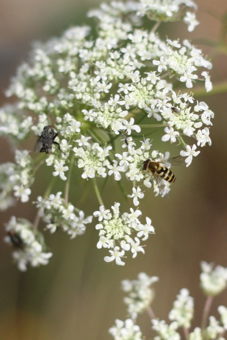 insects_on_queen_annes_lace