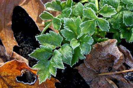 frosty_celery_leaves