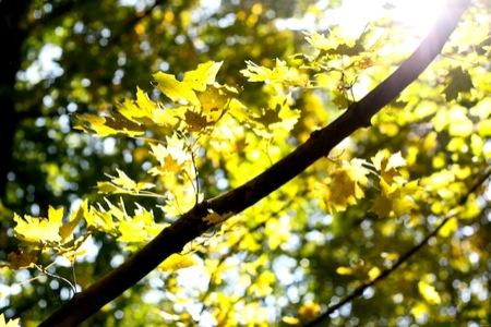 Yellow_maple_leaves