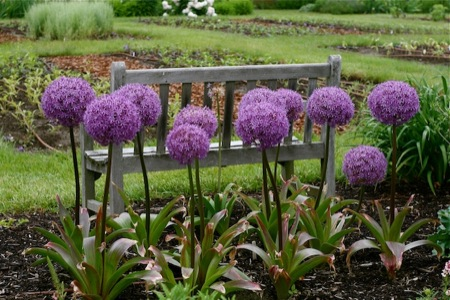 alliums_by_garden_bench