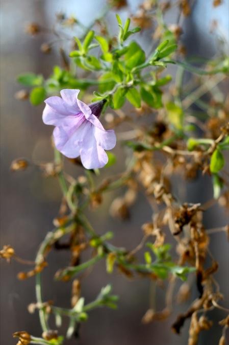purple_petunia