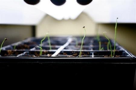 onion_seedlings
