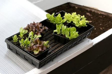 lettuce_seedlings