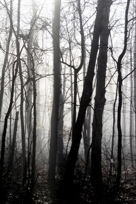trees_in_fog