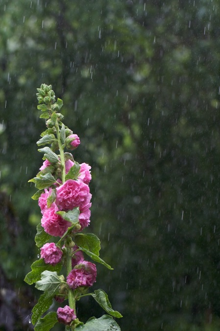 hollyhock_in_rain