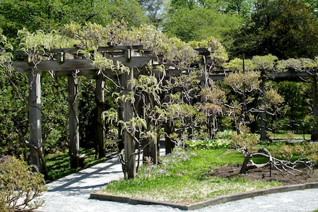 wisteria_arbor_at_longwood