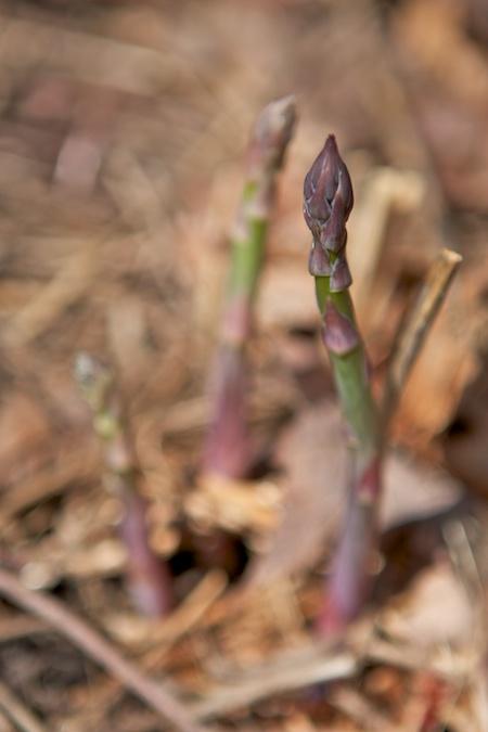 asparagus_in_the_garden
