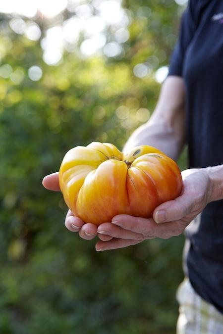 grandpas tomato 1