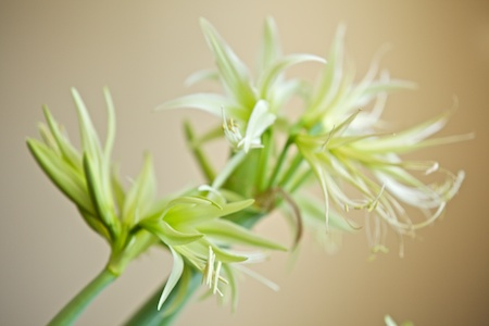 green dragon amaryllis 2