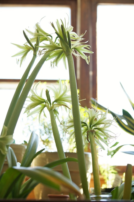 green dragon amaryllis