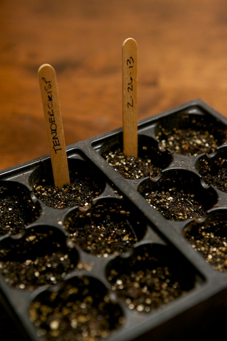 seeding celery 3