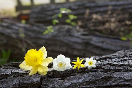 flowering bulbs 4