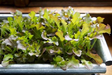 lettuce 2