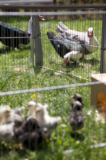 Chicks on pasture 2
