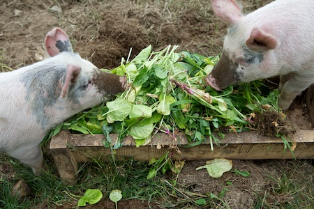 spinach harvest 3