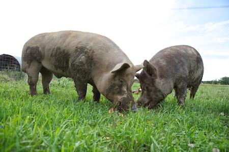 Tamworth Pigs 3