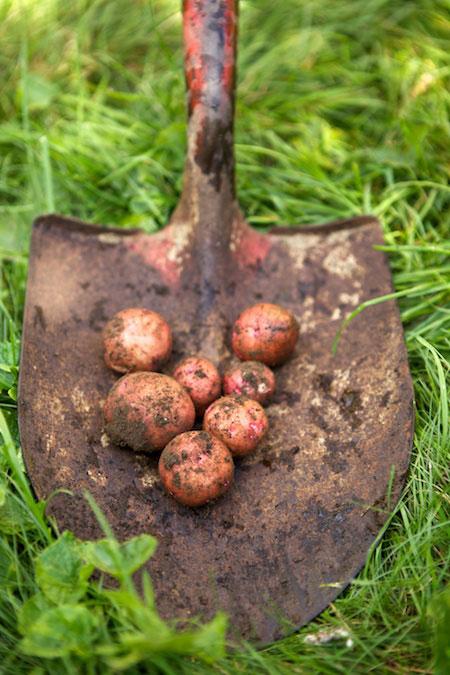 Potato-harvest-re