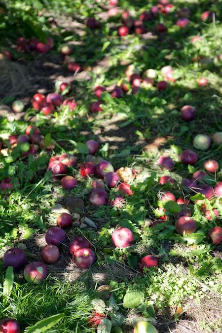 apple picking 5