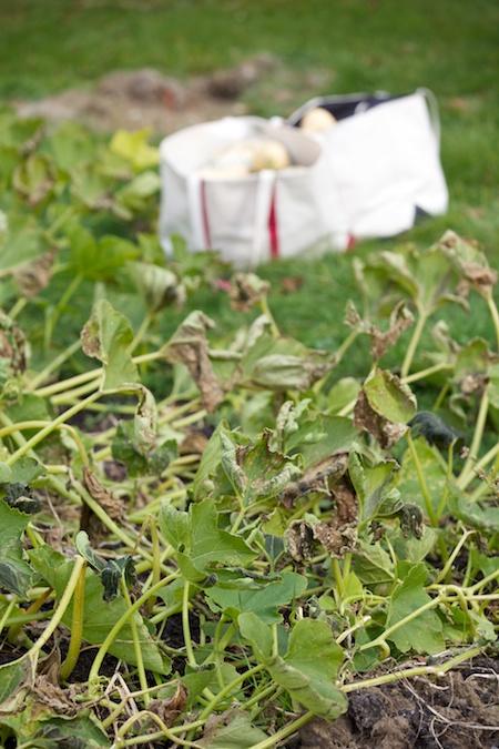 squash harvest 3