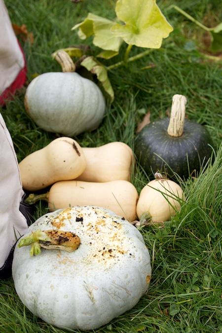 squash harvest 5