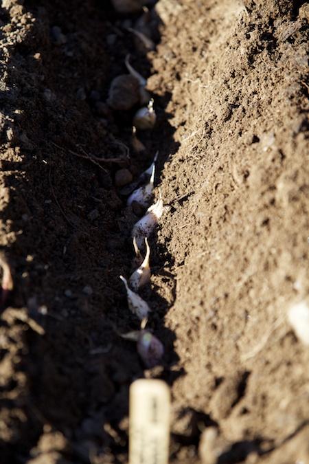 Planting Garlic 1