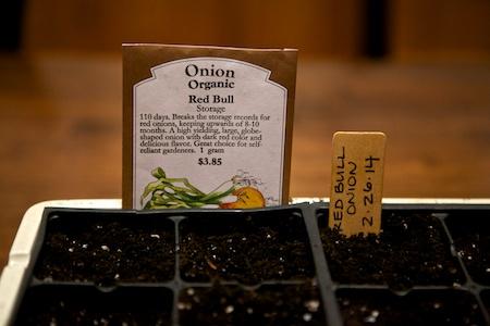 starting onion seeds 1