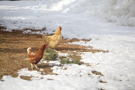 big ginger chicken 2