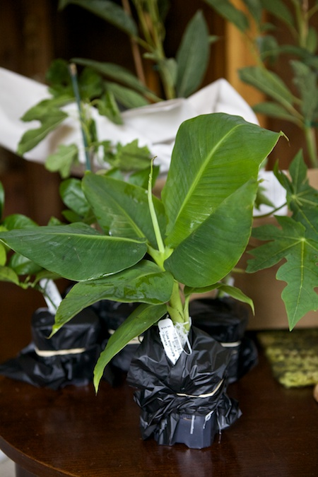 tropical houseplants 4 - Tropical House Plants