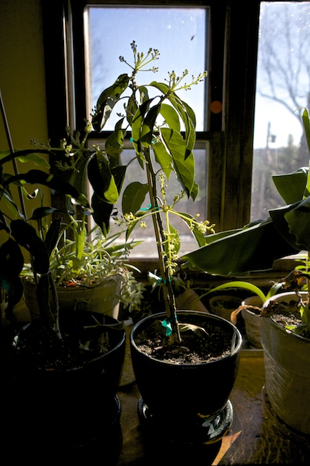 Day Avocado tree 1