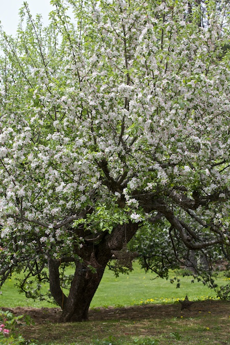 apple tree in bloom 2