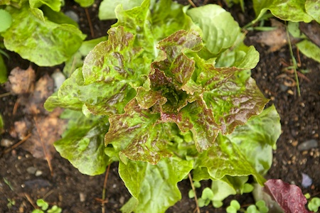 parade of lettuces 10