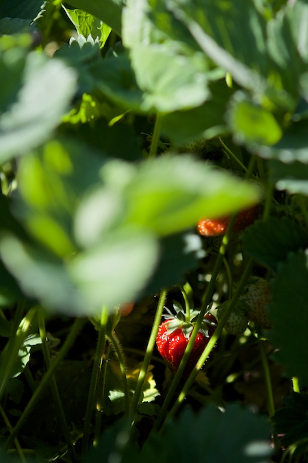 Picking Strawberries 2