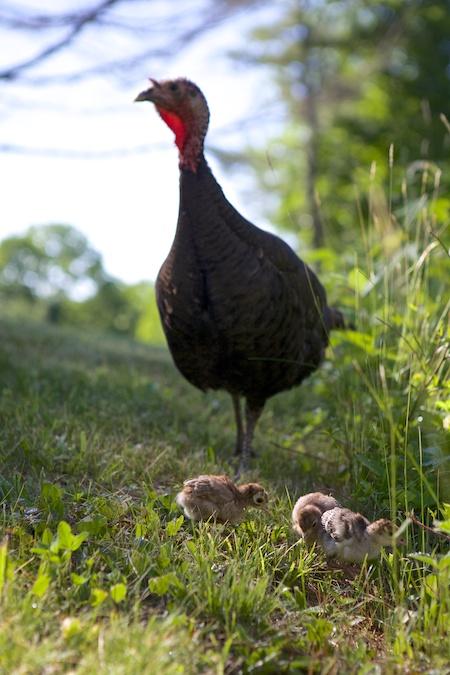 turkey poults 1