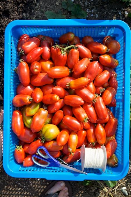 heirloom tomatoes 3