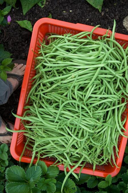 green bean harvest 2