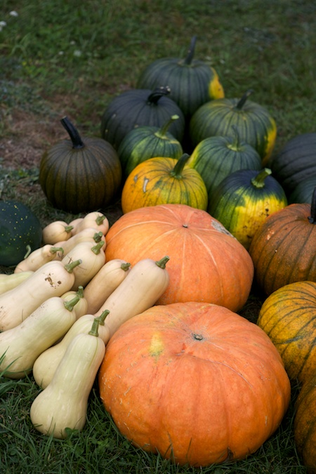 heirloom pumpkin harvest 2