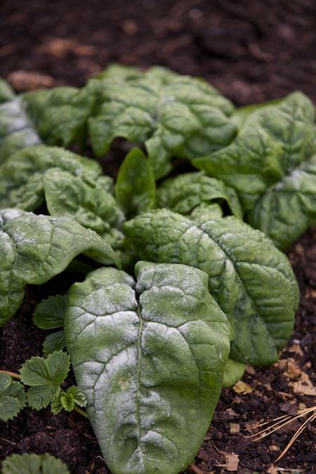 winter spinach 2
