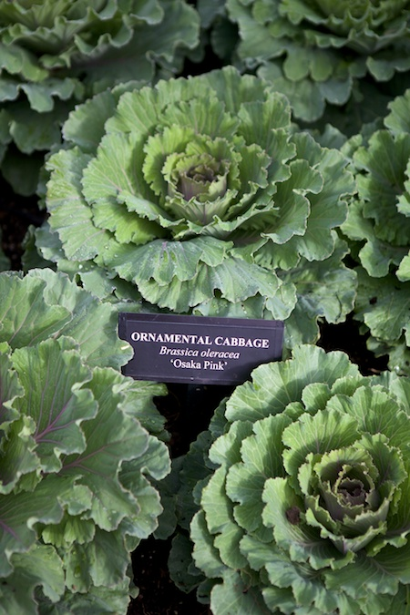 mass planting of ornamental cabbage