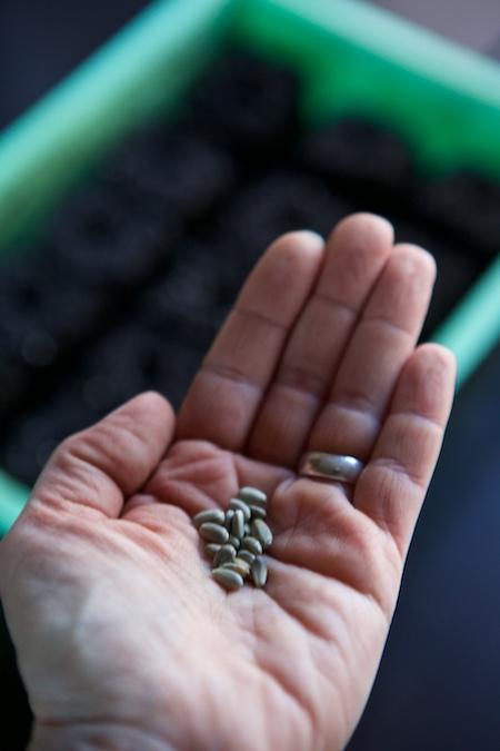 seeding artichokes 2