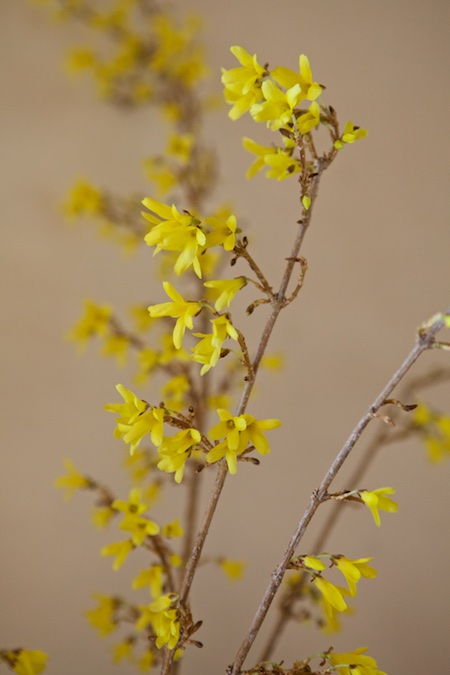 forced forsythia branches 2