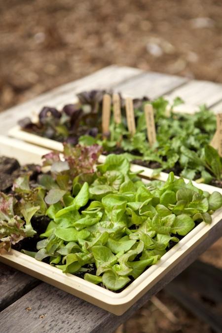 hardening off lettuce seedlings (1)