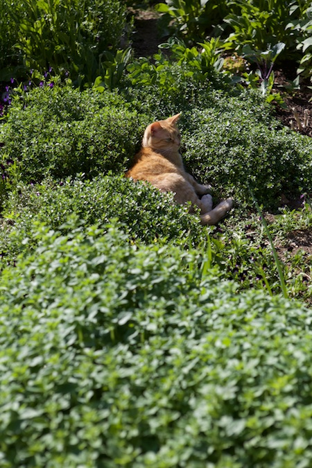 cats in herbs 1