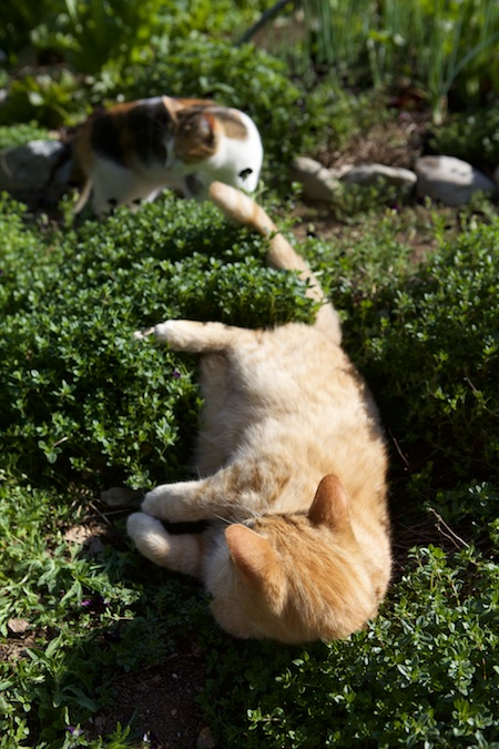 cats in herbs 4
