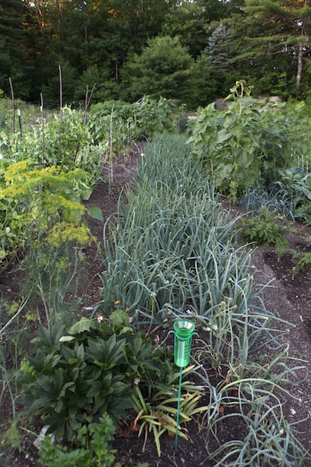 Main edible garden 2