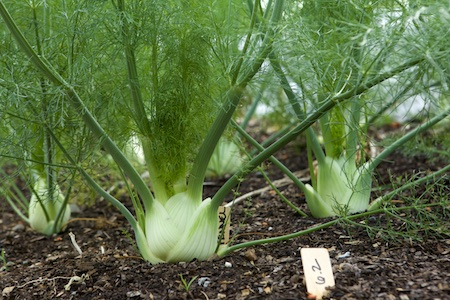 Preludio Fennel 1