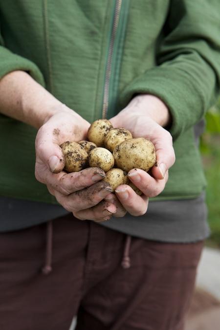 new potato harvest