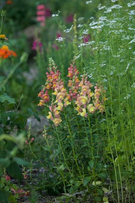 the garden in early july 6
