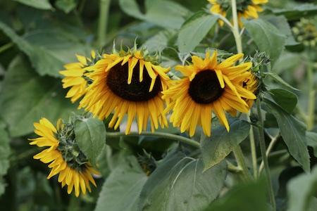 volunteer sunflowers 3