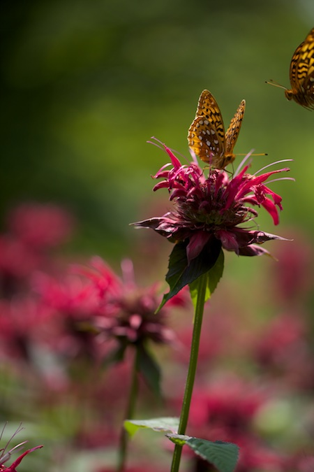 butterfly on monarda